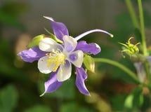 czarodziejski kwiat Zdjęcie Royalty Free