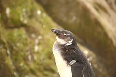 Czarodziejski mały pingwin w Bristol zoo Zdjęcia Royalty Free