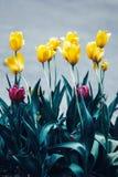 Czarodziejski marzycielski magiczny żółty purpurowy tulipan kwitnie z ciemnozielonymi liśćmi, stonowanymi z instagram filtrami w  Obrazy Stock