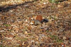 Czarodziejski ogon czerwonej wiewiórki portret w jesieni Obrazy Royalty Free