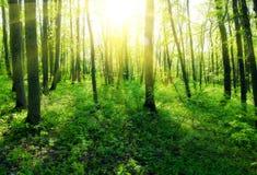 Czarodziejski piękny zielony las przy złocistym zmierzchem Obrazy Stock
