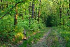 Czarodziejski piękny zielony las przy złocistym zmierzchem Fotografia Royalty Free