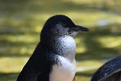 Czarodziejski pingwin Obraz Royalty Free