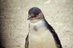 Czarodziejski pingwin lub mały pingwin Obraz Stock