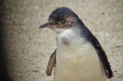 Czarodziejski pingwin lub mały pingwin Zdjęcie Stock