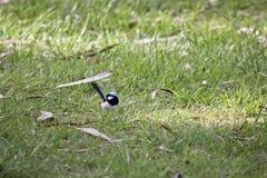 Czarodziejski strzyżyk Fotografia Royalty Free