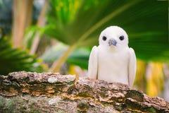 Czarodziejski Tern ptak lub świętego ducha ptak - gatunków mostków nereis Fotografia Stock