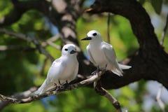 Czarodziejskiego Tern ptasia para Zdjęcia Stock
