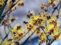 Czarownicy leszczyna - Hamamelis w pełnym kwiacie fotografia stock