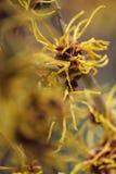 Czarownicy leszczyny roślina Obraz Stock