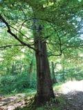 Czarowny drzewo w lesie zdjęcie stock