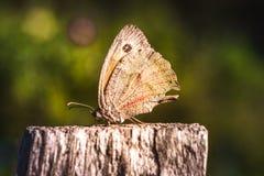 Czarowny duży czerwony motyl zdjęcie royalty free