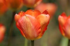 Czarujący, kolorowy tulipan obrazy stock