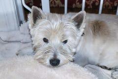 Czas dla groomers - Brudny Westhighland Terrier psa Biały lying on the beach na łóżku psią bramą fotografia stock