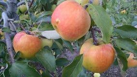 Czas podnosić jabłka Fotografia Royalty Free