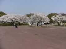 Czasu wolnego spacer w zieleń parku z białym czereśniowym okwitnięciem Fotografia Royalty Free