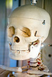 czaszka Fotografia Stock