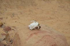 Czaszka dzikie zwierzę na kamieniu Zdjęcie Royalty Free