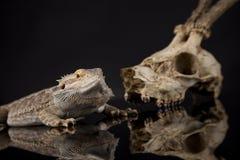 Czaszka, jaszczurka, Agama, poroże, smok i czaszka, Zdjęcie Royalty Free