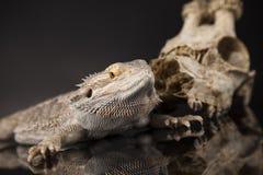 Czaszka, jaszczurka, Agama, poroże, smok i czaszka, Zdjęcie Stock