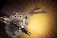 Czaszka, jaszczurka, Agama, poroże, smok i czaszka, Zdjęcia Stock