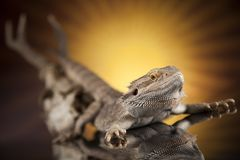 Czaszka, jaszczurka, Agama, poroże, smok i czaszka, Zdjęcia Royalty Free