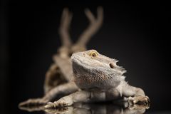 Czaszka, jaszczurka, Agama, poroże, smok i czaszka, Obrazy Stock