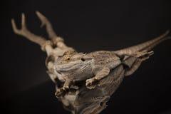 Czaszka, jaszczurka, Agama, poroże, smok i czaszka, Obraz Royalty Free
