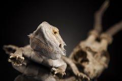 Czaszka, jaszczurka, Agama, poroże, smok i czaszka, Fotografia Stock