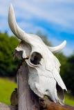czaszka krowy Obraz Royalty Free