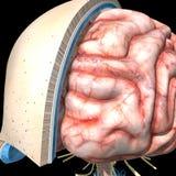 Czaszka mózg i warstwy Zdjęcie Royalty Free