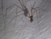 Czaszka pająka kanibal Fotografia Royalty Free