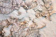 Czaszka prehistoryczna istota fossilized odcisk prehistoryczni żółwie obramowani w piaskowu zdjęcia stock