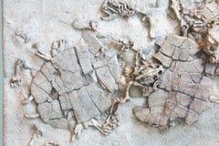 Czaszka prehistoryczna istota fossilized odcisk prehistoryczni żółwie obramowani w piaskowu obraz royalty free