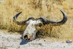 Czaszka wildebeest (Connochaetes) Zdjęcie Royalty Free