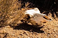 Czaszka zwierzę w pustyni zdjęcia royalty free