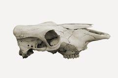 czaszka zwierząt Obraz Stock
