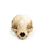 czaszka zwierząt Zdjęcie Royalty Free