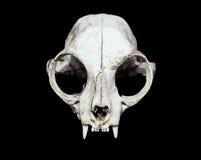 czaszka zwierząt Kot czaszka Zdjęcie Stock