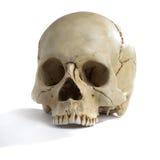 czaszki Zdjęcia Royalty Free