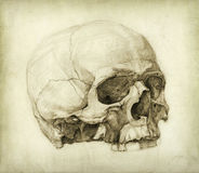 czaszki nauka Obraz Royalty Free