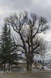 Czcigodny topoli lub populus drzewo w zimy centrum wiosce Pasarel, Bułgaria Zdjęcia Royalty Free