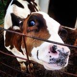 Cześć krowa Zdjęcia Royalty Free