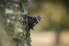 Cześć motyl Fotografia Royalty Free