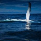 Cześć od Humpback wieloryba zdjęcia royalty free