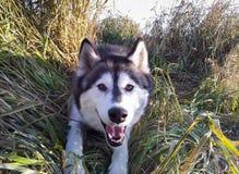 Cześć od husky psa w Alaska Obrazy Stock