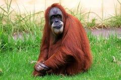 Cześć orangatang Zdjęcia Royalty Free