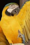 cześć papuga machał zdjęcia royalty free