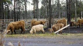 Cześć ziemi cattles w wiośnie Fotografia Royalty Free