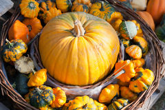 Czech agriculture and farming - autumnal pumpkins in the garden Stock Images